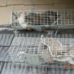Akron Canton Squirrel Removal