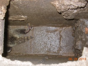 Baby Raccoon in Chimney