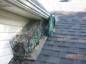 How Do I Get A Raccoon Out Of My Attic Raccoon Removal