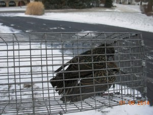 Starlings removed from house