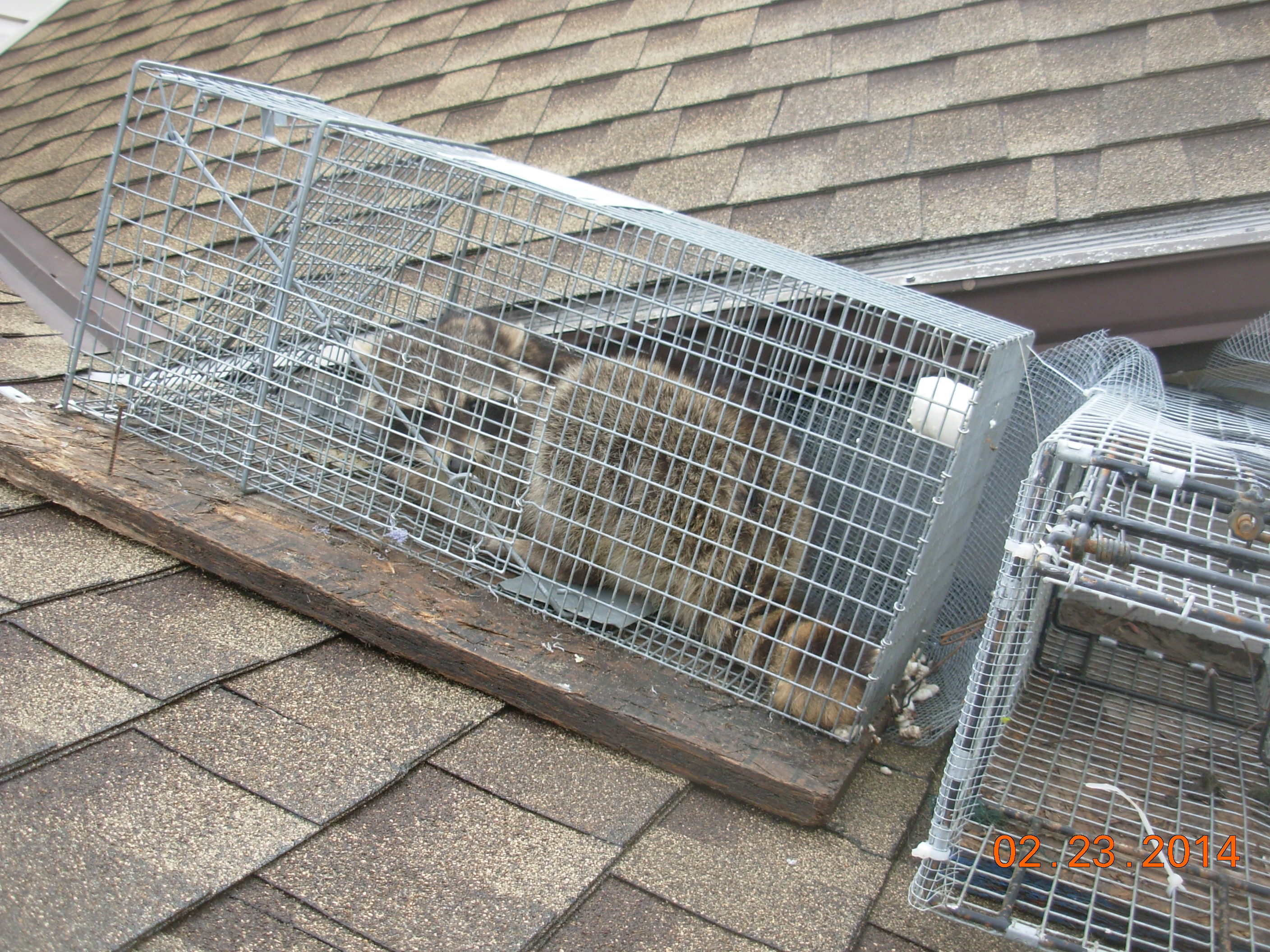 How Are Raccoons Getting Into The Attic Common Entry Points