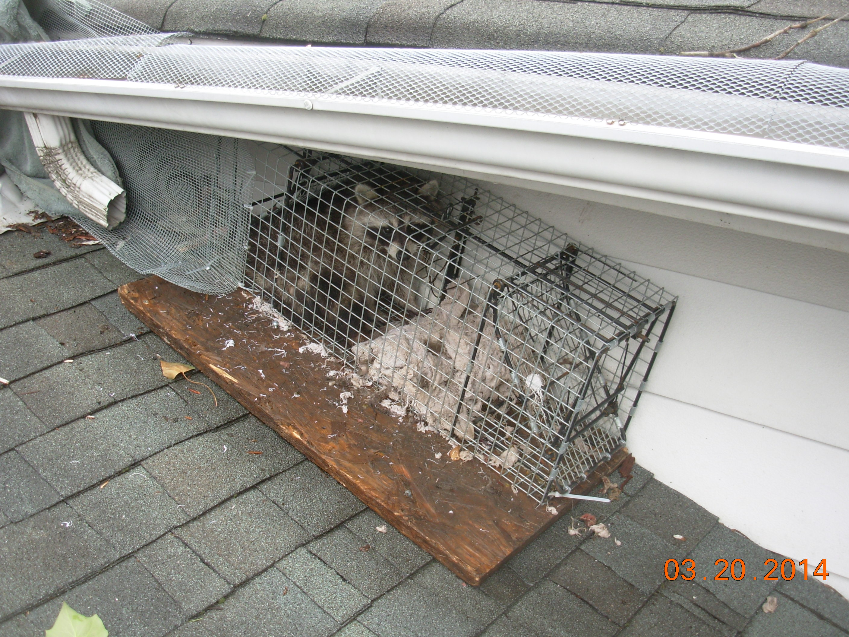 Raccoon Removal and Damage Repair | How to Keep Raccoons Out