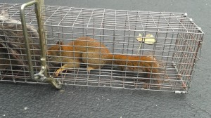 red squirrel trapping