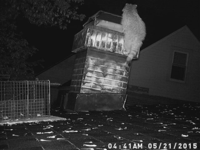 Raccoons In Chimney Surrounds Faux Chimney Raccoons