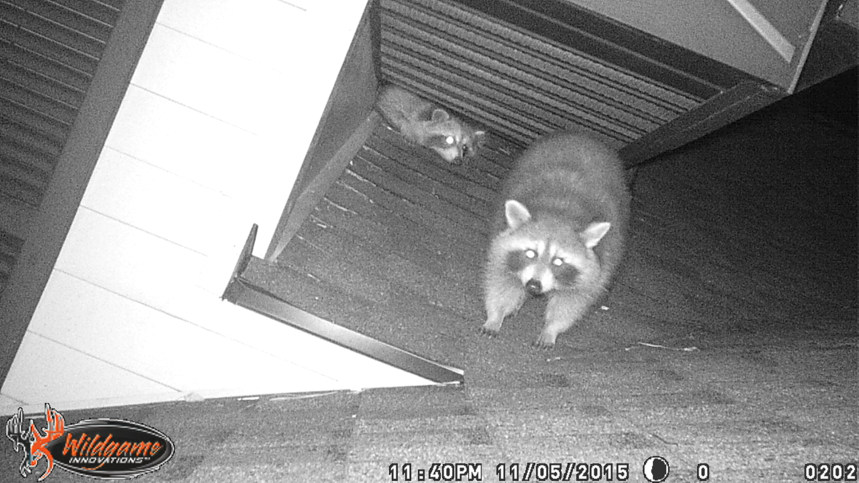 Raccoon Removal Akron Canton