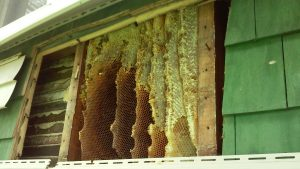 akron honey bee removal