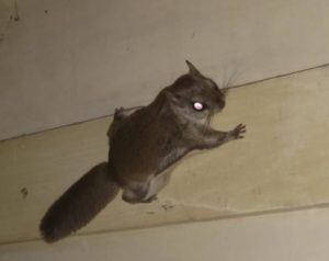 flying squirrel on wall