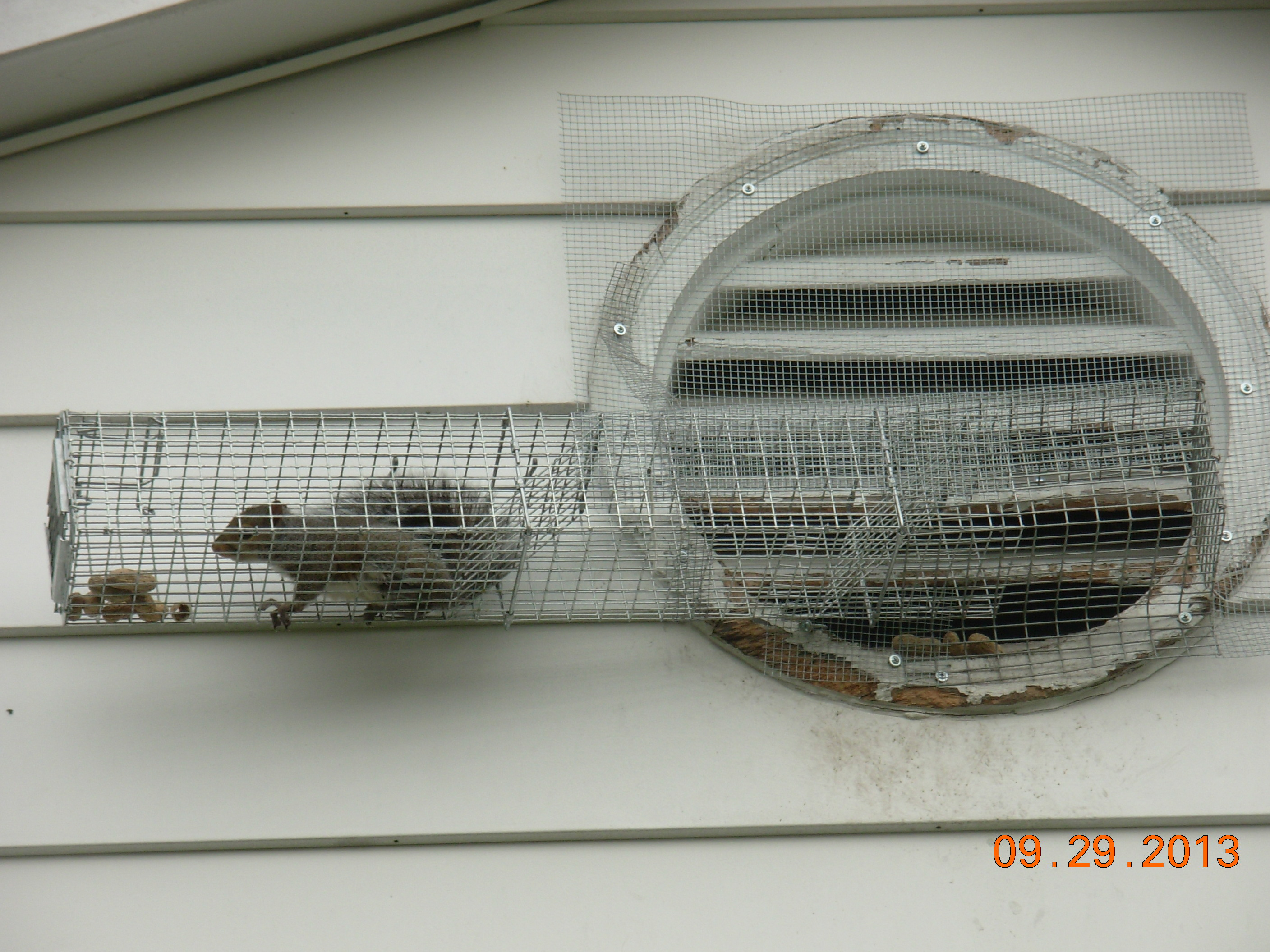 How To Catch A Squirrel From The Attic Nuisance Animal Removal