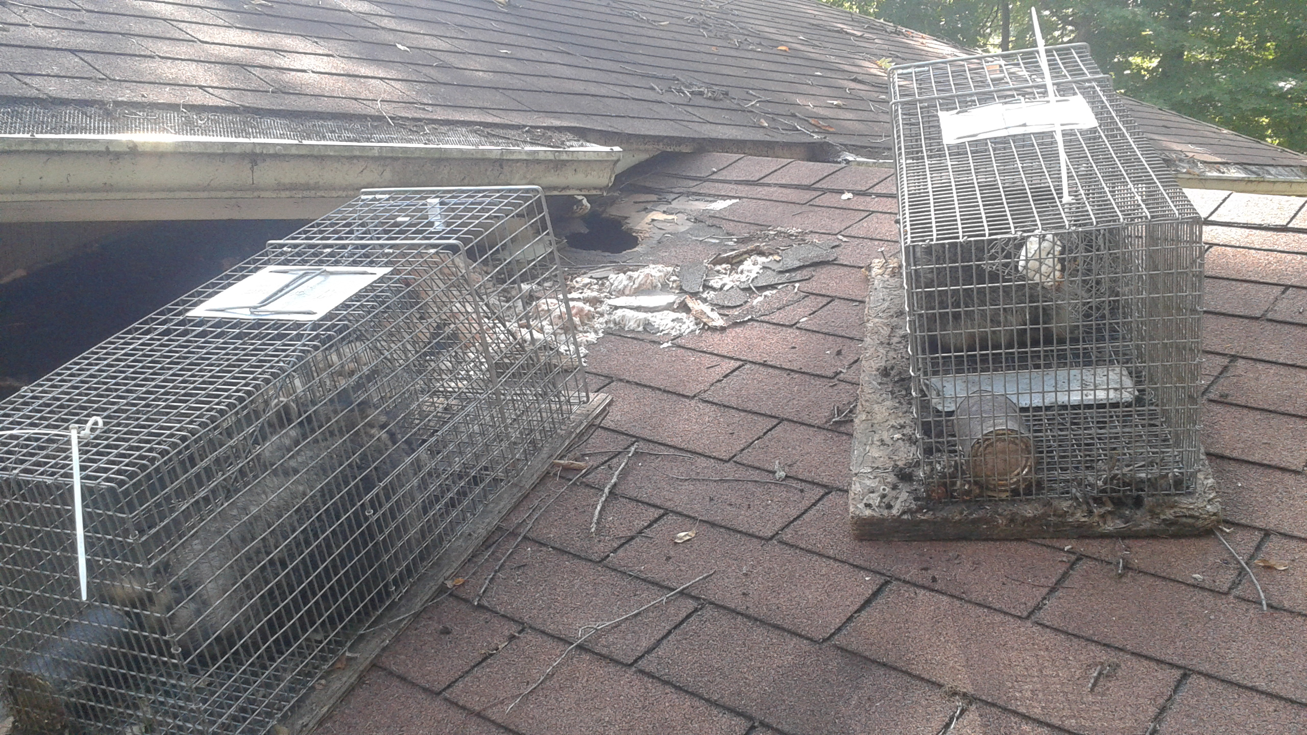 Raccoon Trapping On Roof Raccoon Removal Tip