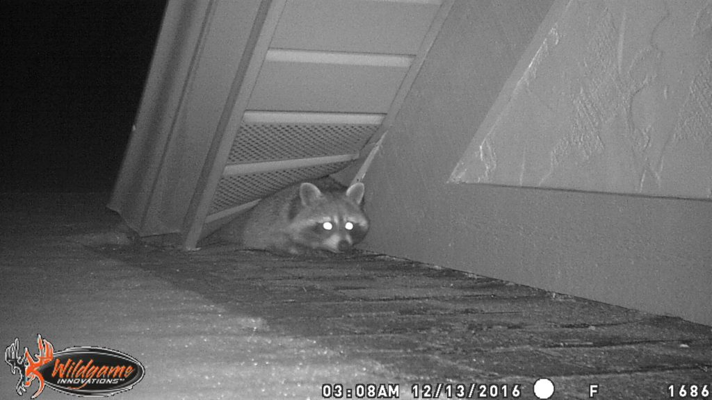 Trapping Winter Raccoons Cold Weather Raccoon Removal