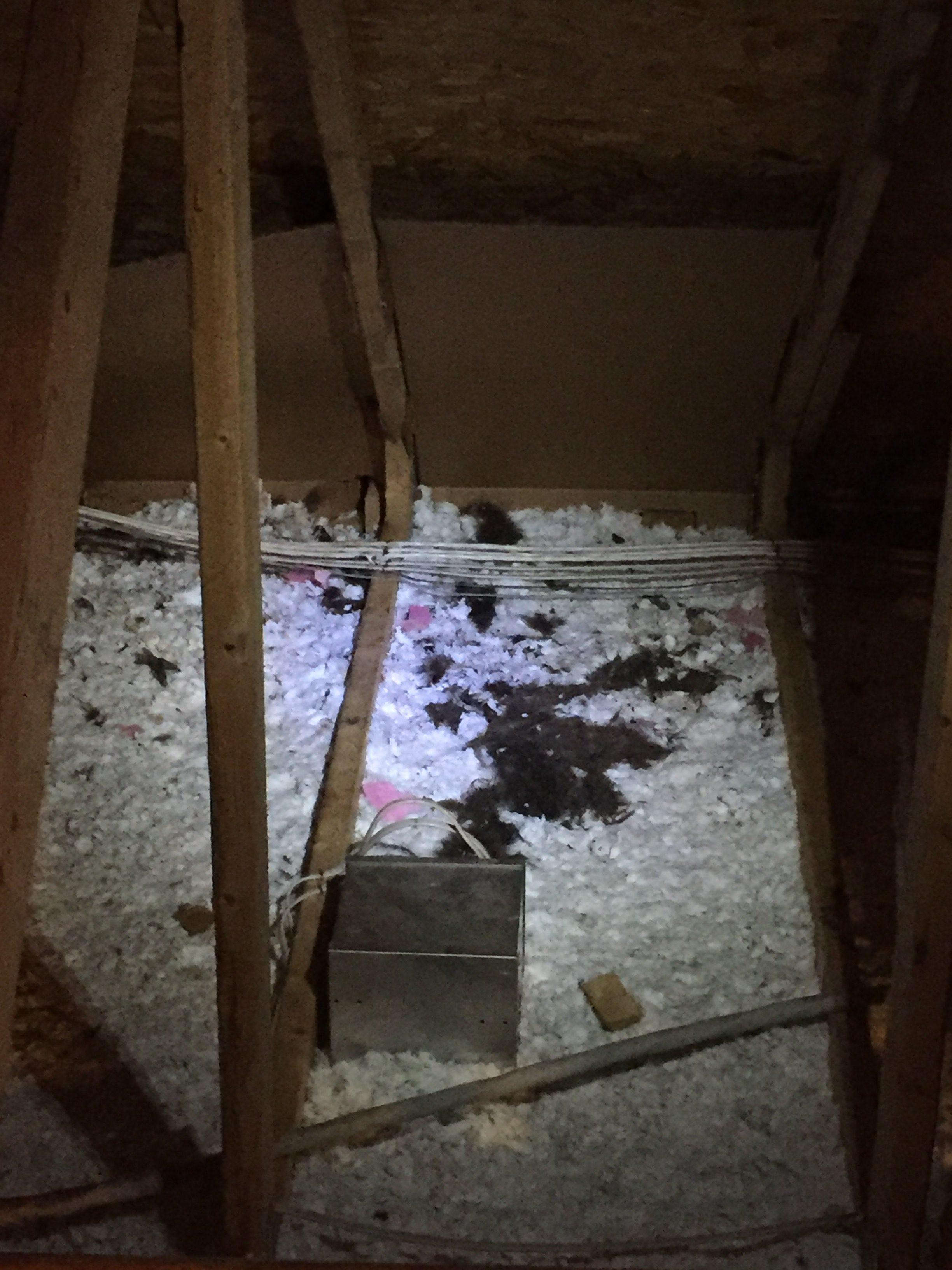 Raccoon Feces In Attic Clean Up Amp Repair Dirty Job